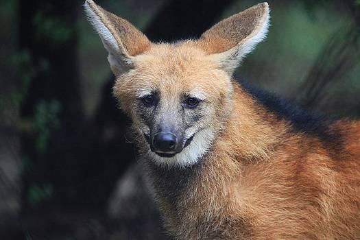 Foxy Wolf by Sheri Bartay