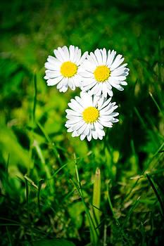 Friendly daisy by Ruth MacLeod