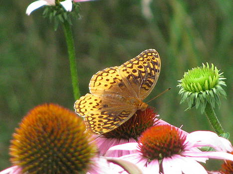 Fritillary Butterfly on a Cone Flower by Corinna Garza