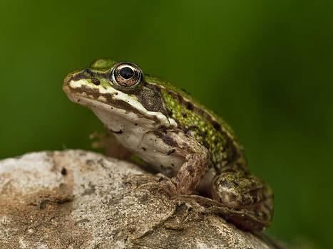 Frog by Adrian Krol