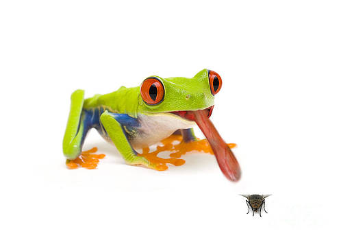 Mark Bowler and Photo Researchers - Frog Eating Fly