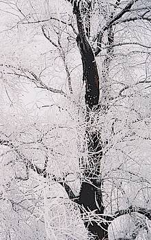 Frosted Branches by Jennifer Choate