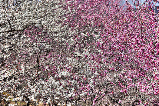 Full Bloom Plum Tree by Tad Kanazaki