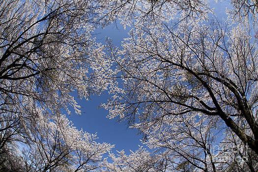Full Bloomed Sakura by Tad Kanazaki