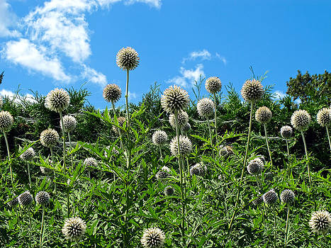 Chantal PhotoPix - Fuzzy Pom Pom Flowers on a Grassy Hillside Slope under a Blue Sky