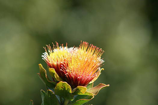 Deborah Hall Barry - Fynbos Flower
