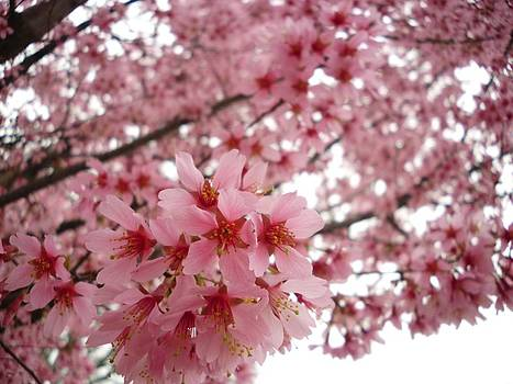 Gaceful Cherry Blossoms by Timothy Jones