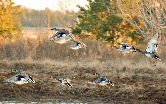 Gadwall Ducks on the Wheelock Prairie by Charles Frieda