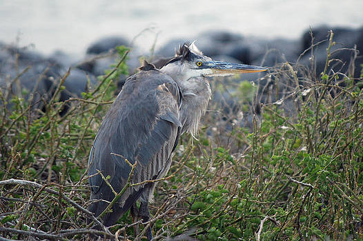 Harvey Barrison - Galapagos Blue Heron