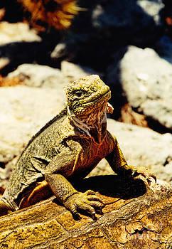 Diana Cox - Galapagos Land Iguana