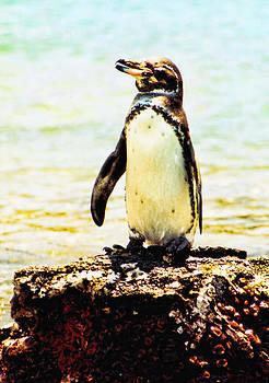 Diana Cox - Galapagos Penguin