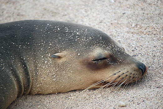 Harvey Barrison - Galapagos Sea Lion
