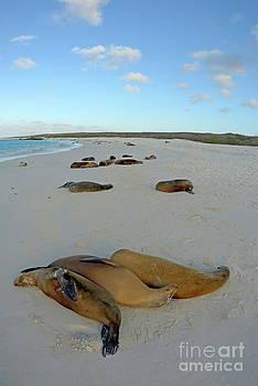 Sami Sarkis - Galapagos Sea lions sleeping on beach