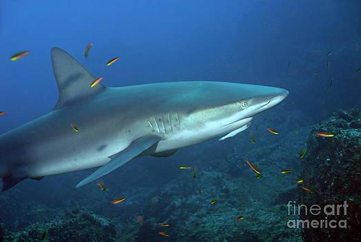 Sami Sarkis - Galapagos Shark