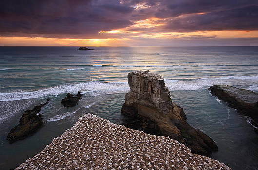 Gannet Colony by Chris Gin