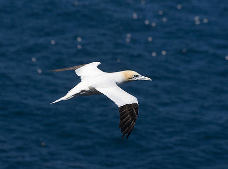 Howard Kennedy - Gannet in flight