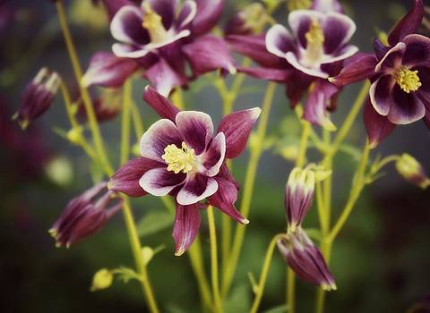 Garden Columbine's by Cathie Tyler