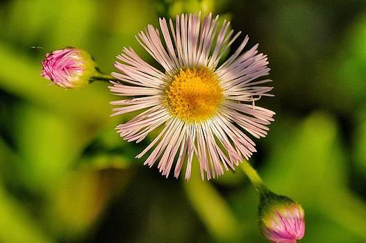 Garden flower by Pierre-Marc Cardinal