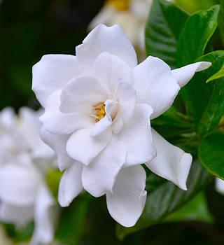 Gardenia II by Lori Kesten