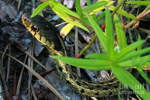 Garter snake by Dave Fitzpatrick