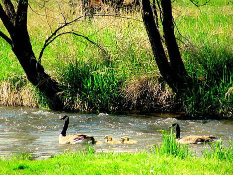 Geese family in Creek by Amy Bradley
