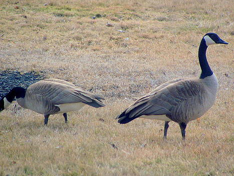 Geese Grazing by Amy Bradley
