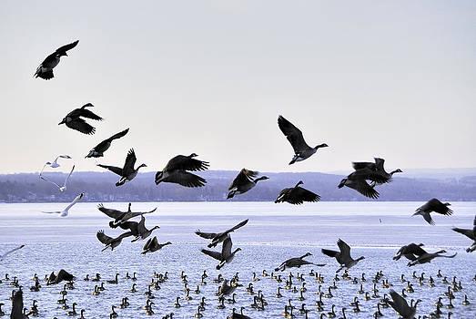 Geese over Canandaigua Lake 2009 by Joseph Duba
