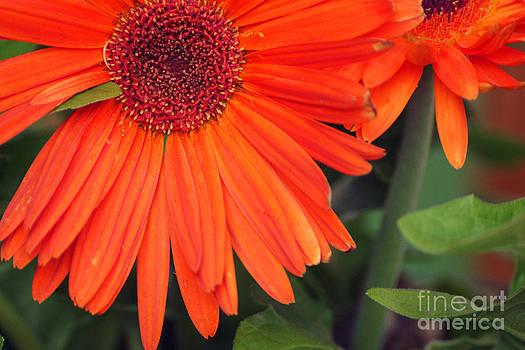 Gerber Flowers by Maria Varnalis