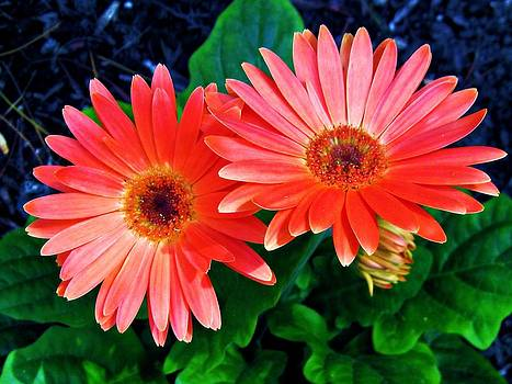 Gerbera by Andrea Dale