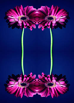 Gerbera Art by Falko Follert