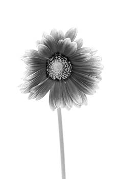 Sebastian Musial - Gerbera in Black and White