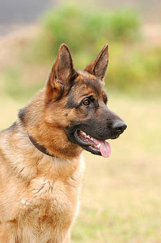 Waldek Dabrowski - German shepherd dog