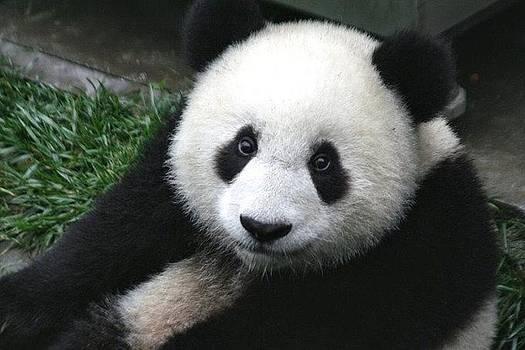 Giant Panda Cub by Ademola kareem oshodi