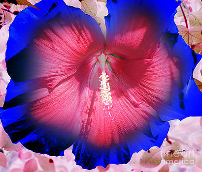 Giant Pink Blue Hibiscus by Heinz G Mielke