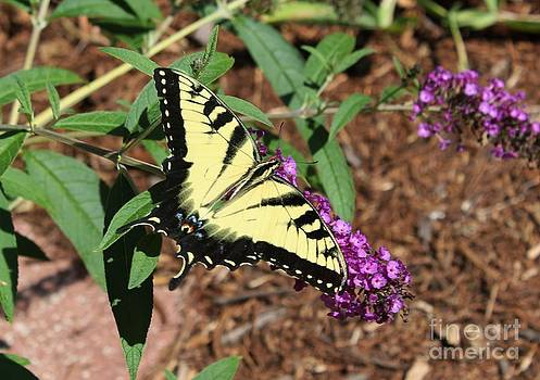 Giant Swallowtail Butterfly by Theresa Willingham