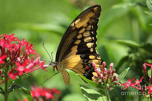 Giant Swallowtail by Theresa Willingham