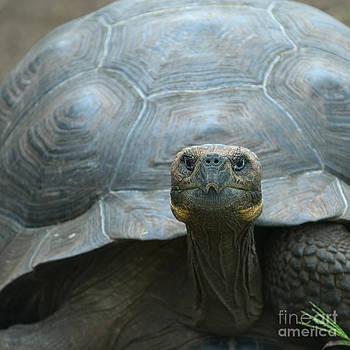 Giant Turtle Galapagos Islands Ecuador by Konstantin Kalishko