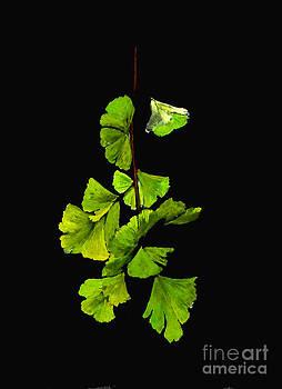Ginkgo Biloba leaves by Sibby S