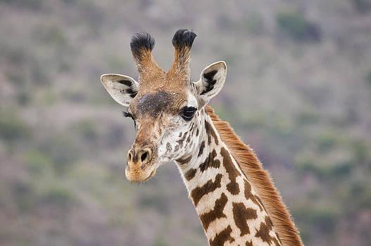Howard Kennedy - Giraffe Close-Up