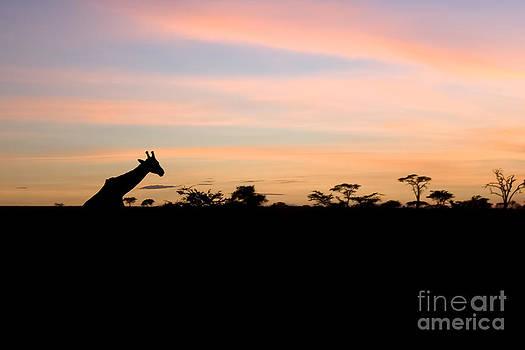 Darcy Michaelchuk - Giraffe Silhouette at Sunset