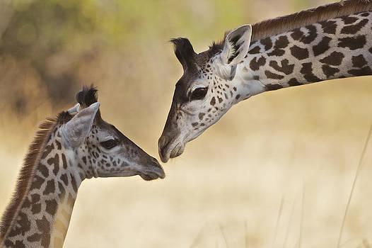 Giraffe tenderness by Johan Elzenga