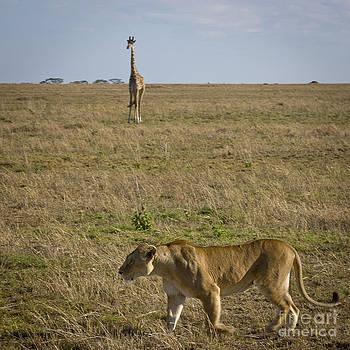 Darcy Michaelchuk - Giraffe Waits for Lioness to Pass