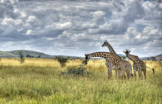 Giraffes by Ahmed Wahdan