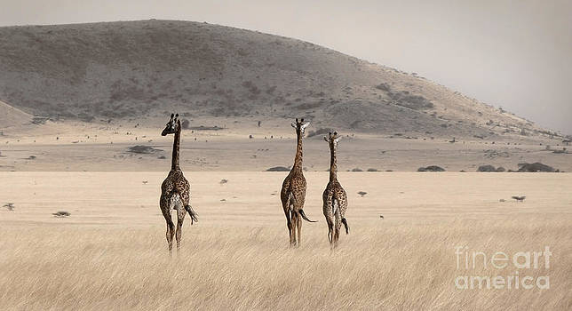 Giraffes by Tina Broccoli