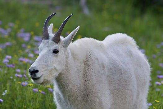 Glacier Mountain Goat by Larry Hughes