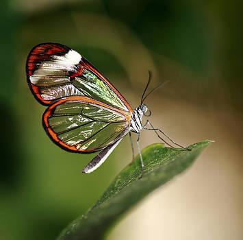 Glasswing Butterfly by Grant Glendinning