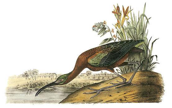 John James Audubon - Glossy Ibis