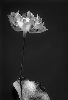 Glowing Lotus In Black And White by Jill Balsam
