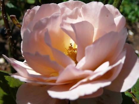 Angela Hansen - glowing rose