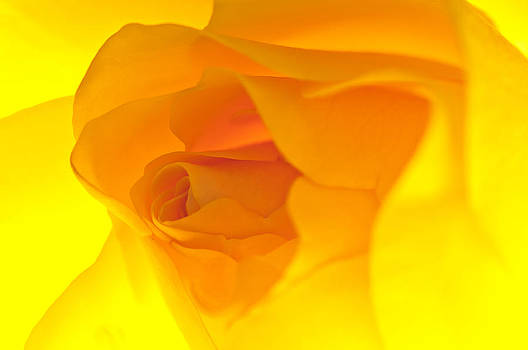 Glowing Yellow Rose by Marcus Taylor